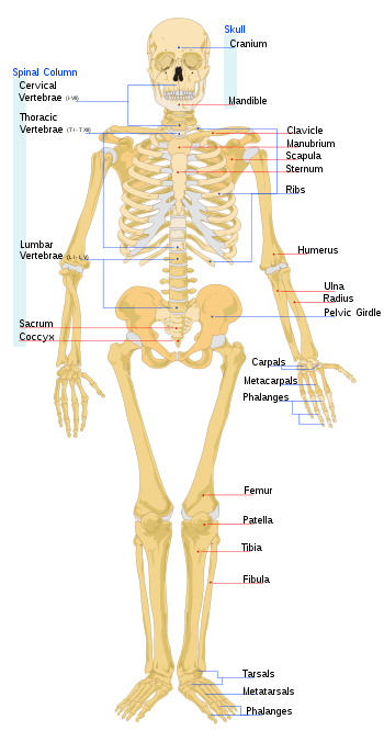 350px Humanskeletonfronteng Bones Diagram Fused And Individual