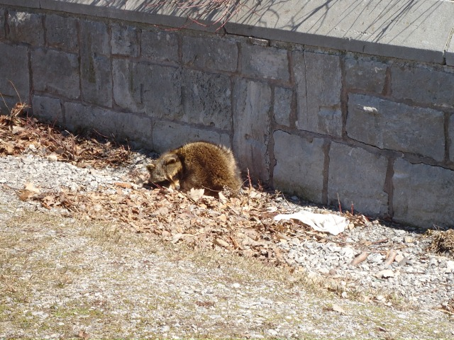 baby raccon sleeps in daytime by peace bridge wall (north side) he's ill with a tummy ache and fever he says. mar 31 2013 linda randall