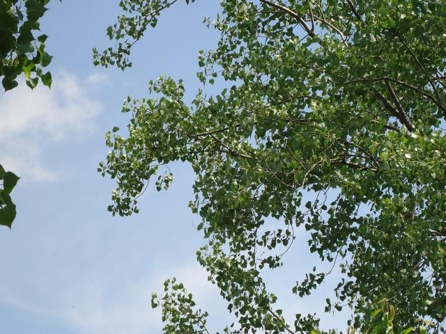 eastern great egret white heron birds in trees 1 june 15 2013 linda randall