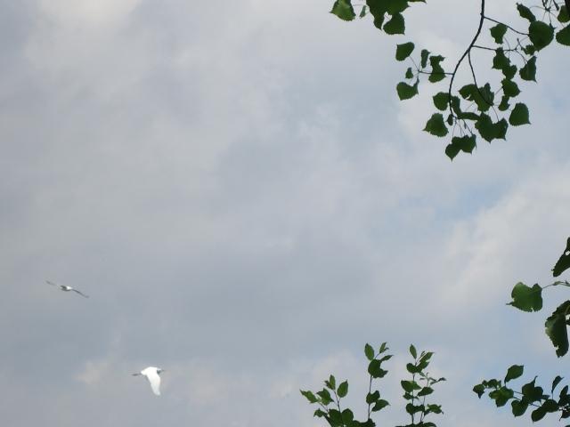eastern great egret white herons flying over niagara river fort erie 16 june 2013 linda randall