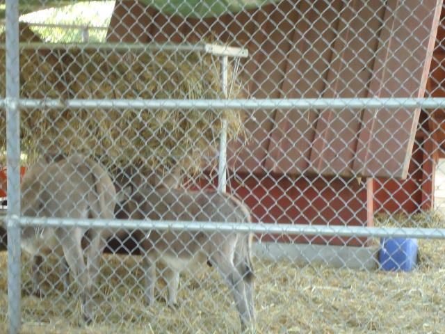 goats happy rolf's farm read rd st catharines honeymoon trip linda randall chisholm