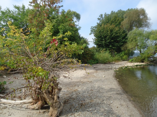 beach tree growing out of sand niagara river mouth NOTL ontario canada linda randall 1 oct 2013