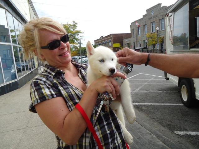 Bright Blue Eye White Eskimo Dog Puppy Jarvis St 3 Oct 2013 Harry's hand linda randall