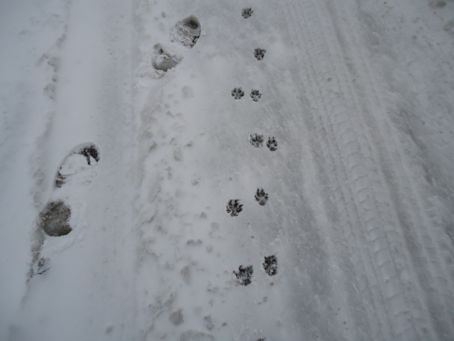 harry daisy toy poodle dog prints in snow linda randall fort erie 12 mar 2014 idea girl canada igc entertainment canada the idea girl says youtube channel
