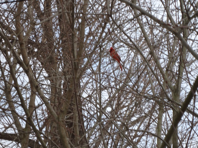 red cardinal in tree singing linda randall 14 mar 2014