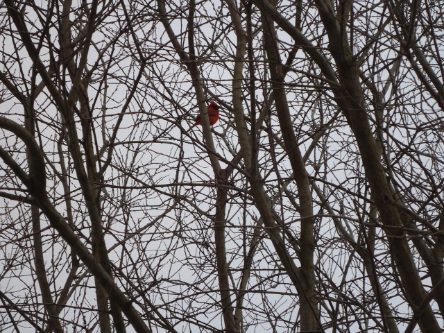 red cardinal sings after blizzard snow storm in tree 14 mar 2014 linda randall idea girl canada